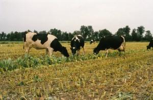 Koeien eten de gewasresten